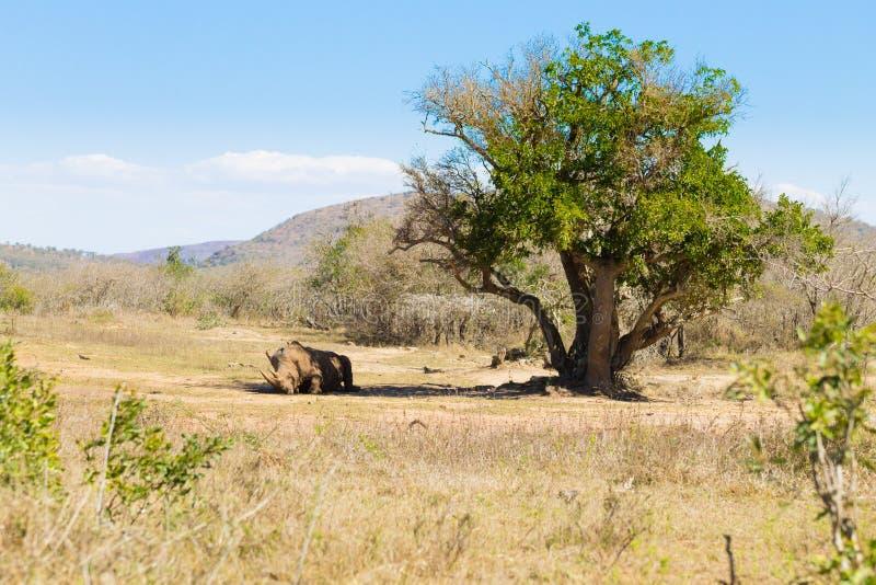 Weißes Nashorn, das unter einem Baum, Südafrika schläft lizenzfreie stockfotos