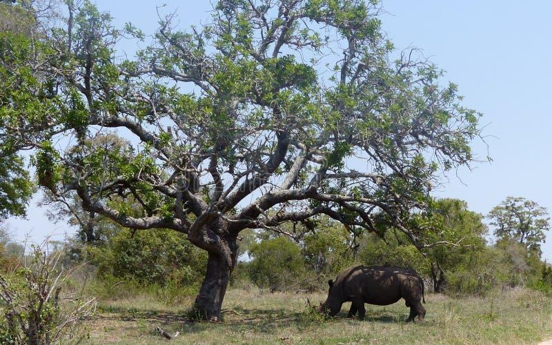 Weißes Nashorn, das unter einem großen Baum mit afrikanischer Landschaft mit Gras bedeckt lizenzfreie stockbilder