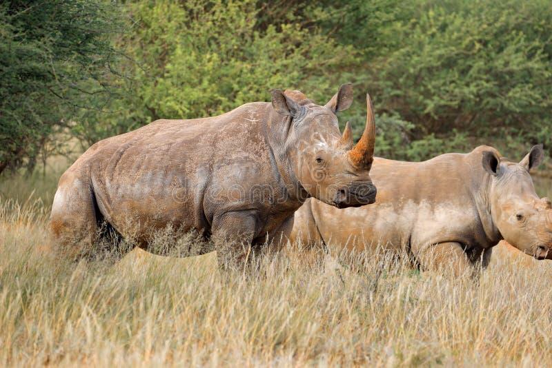 Weißes Nashorn im natürlichen Lebensraum stockfotos