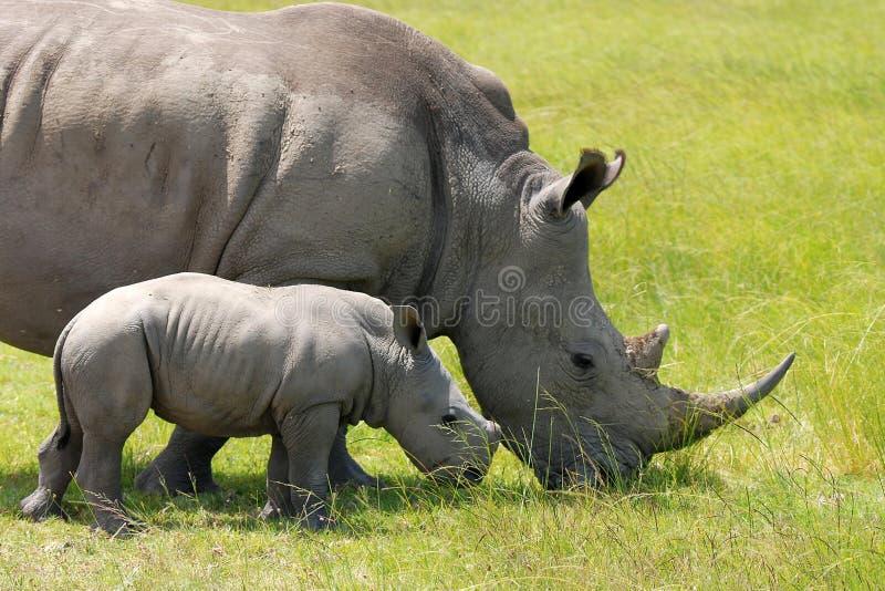 Weißes Nashorn mit dem 5-Wochen-Kalb lizenzfreie stockbilder
