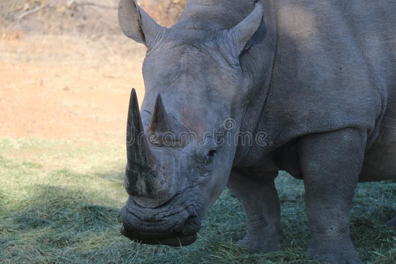 Weißes Nashorn in Namibia stockbild