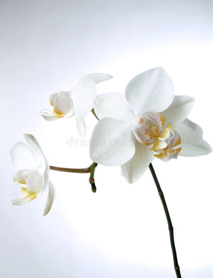 Weißes orchiddream