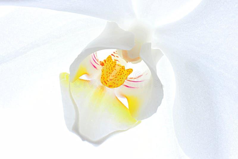 Weißes Orchideenmakro lizenzfreies stockfoto