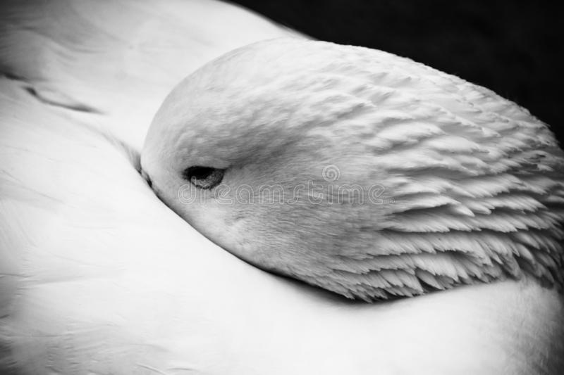 Weißes Peking Duck Black And White Closeup stockfoto