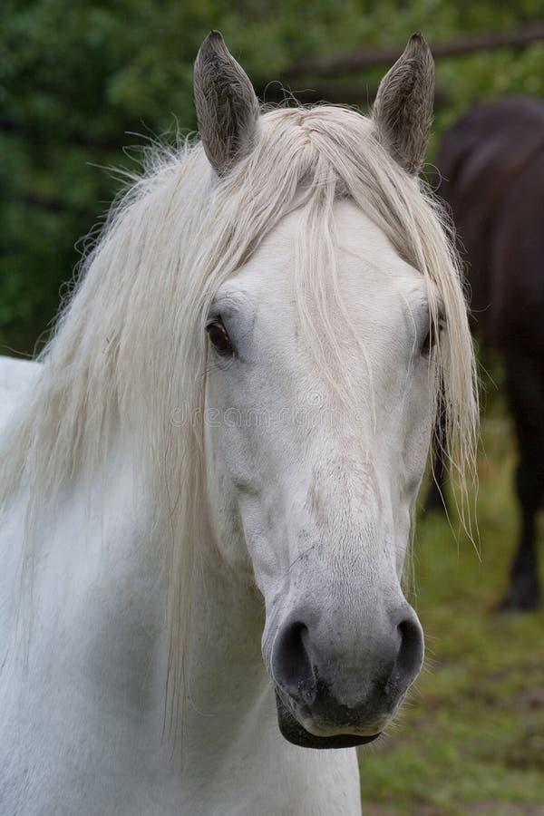 Weißes Percheron-Entwurfs-Pferd lizenzfreie stockfotos