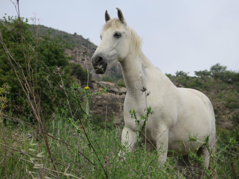 Weißes Pferd auf dem Gebiet lizenzfreies stockbild