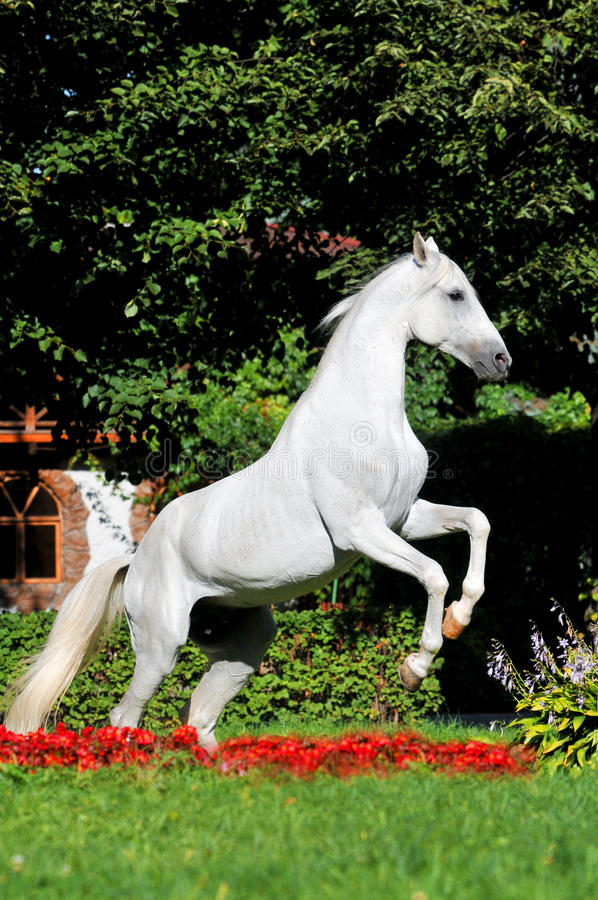 Weißes Pferd, das oben in den roten Blumen aufzieht stockfoto