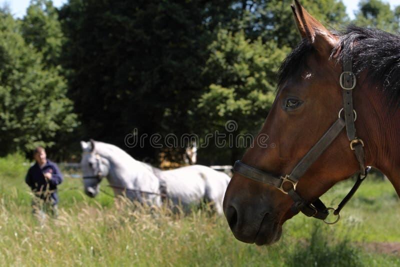 Weißes Pferd der Brown-Pferdenansicht stockbilder