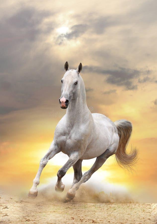 Weißes Pferd im Sonnenuntergang stockbild