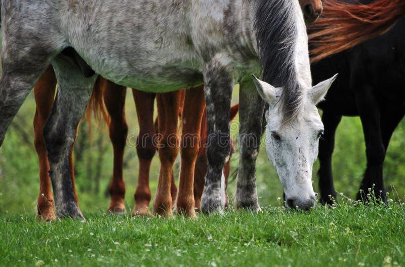 Weißes Pferd mehr Fahrwerkbeine stockfoto