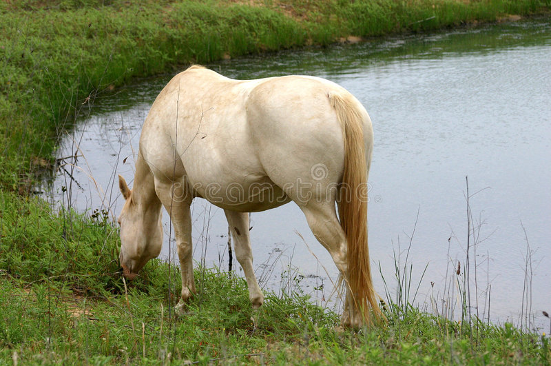 Weißes Pferd in Teich lizenzfreie stockbilder