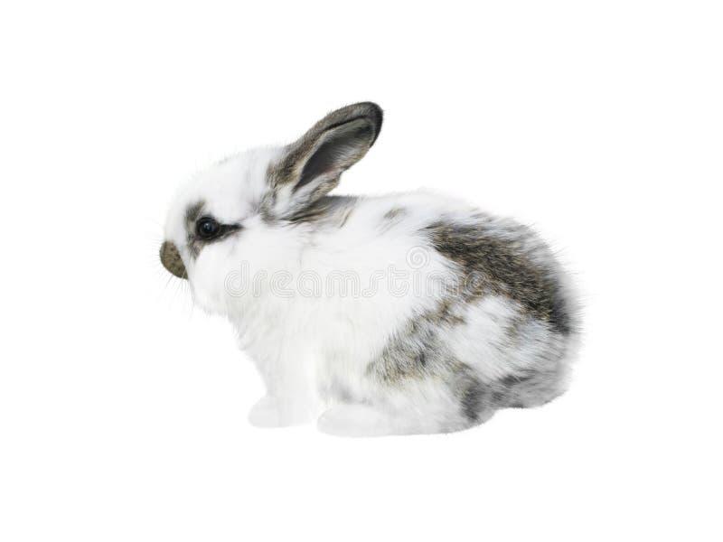 Weißes pickeliges Kaninchen lokalisiert auf Weiß stockbild