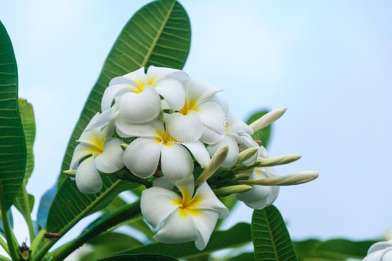 Weißes Plumaria wächst auf Insel von Kauai stockbilder
