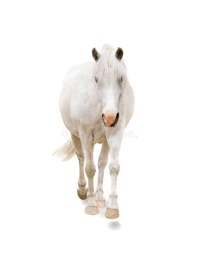 Weißes Pony stockfotografie