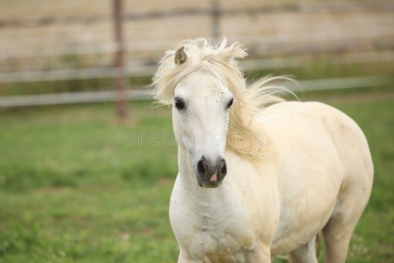 Weißes Pony auf Weide lizenzfreies stockfoto