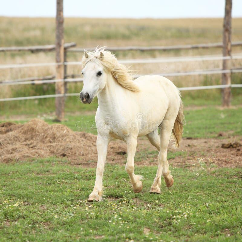 Weißes Pony auf Weide stockbilder