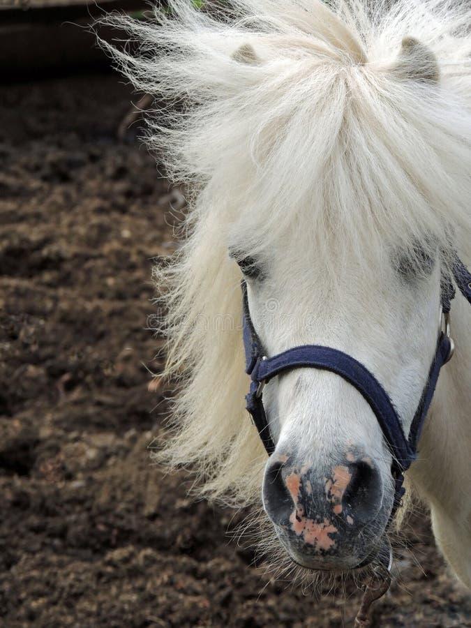 Weißes Pony mit der Mähne lizenzfreie stockfotografie