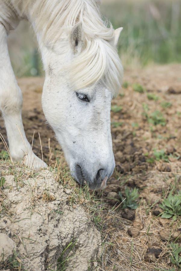 Weißes Ponypferd, das Gras auf dem Feld isst vertikal stockfotos