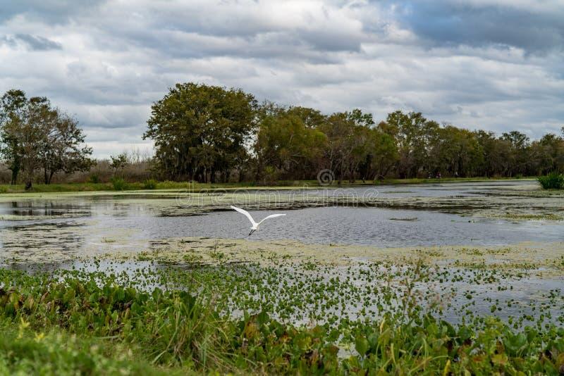 Weißes Reiherfliegen über Texas-Sumpfgebieten lizenzfreie stockbilder