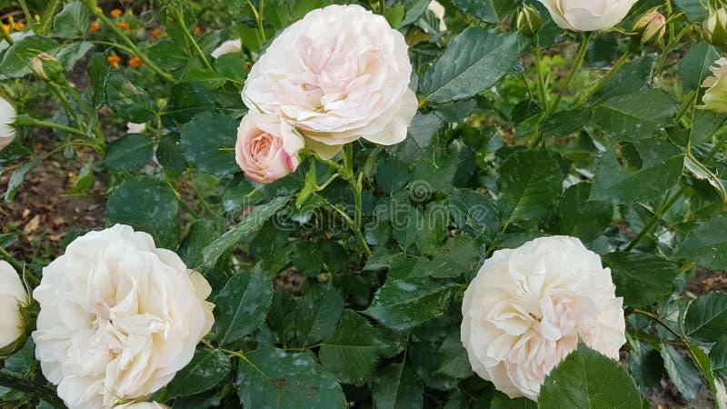 Weißes Rose& x27; s sind fein als dride stockbild