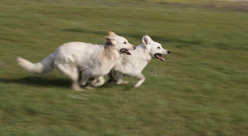 Weißes Schäferhundrennen lizenzfreie stockbilder