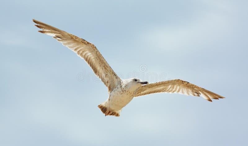 Weißes Seevogel im Himmel stockfoto