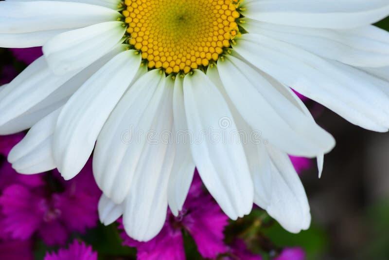 Weißes Shasta-Gänseblümchen über purpurroten Wildflowers lizenzfreie stockbilder