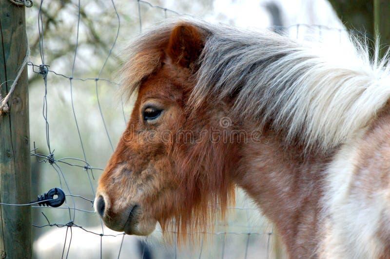 Weißes Shetland Pony Brown- lizenzfreies stockbild