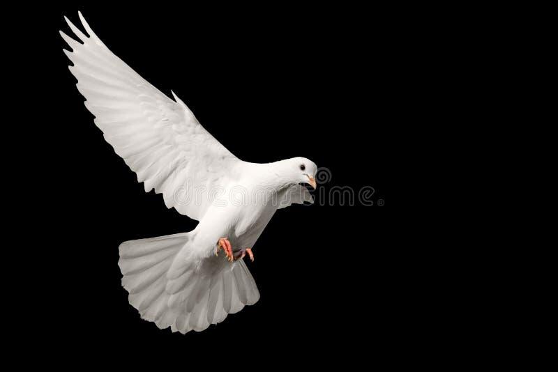 Weißes Taubenfliegen lokalisiert auf schwarzem Hintergrund lizenzfreie stockfotografie