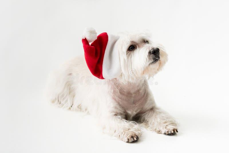 Weißes Terrier in Sankt-Hut mit Geschenk lizenzfreie stockfotografie