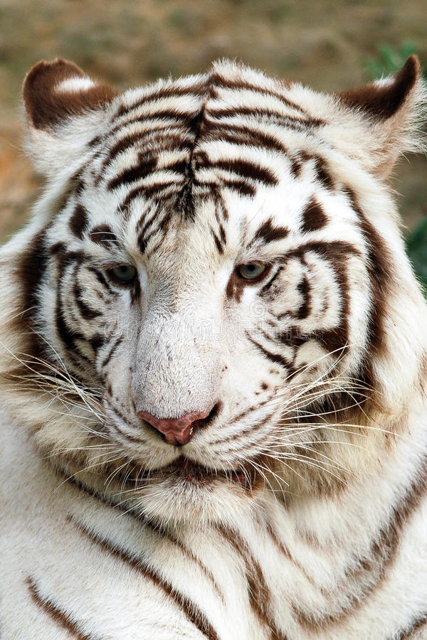 Weißes Tigerportrait lizenzfreies stockfoto