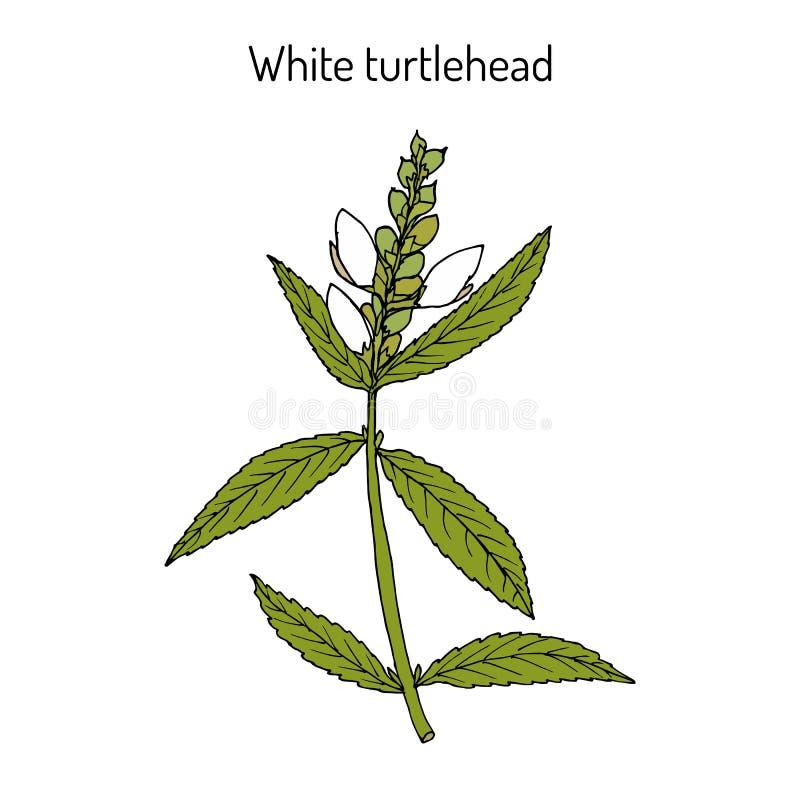 Weißes turtlehead Chelone glabra oder bitteres Kraut lizenzfreie abbildung