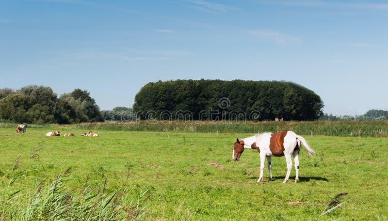Weißes und braunes überzogenes Pferd stockbild