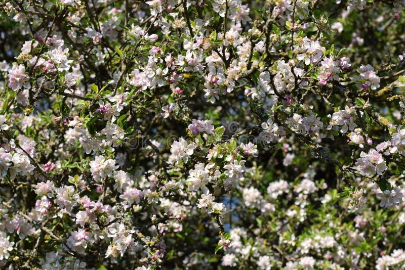 Weißes und rosa Apfelblütentapete im Springtime lizenzfreie stockbilder
