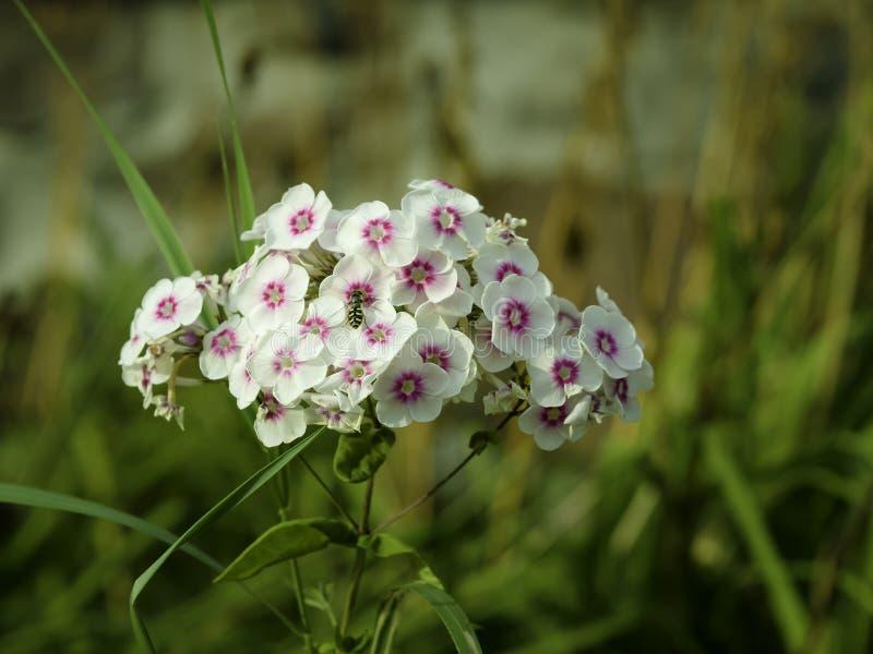 Weißes und rosa oben blühendes Gartenflammenblume Flammenblume paniculata, Abschluss stockfoto