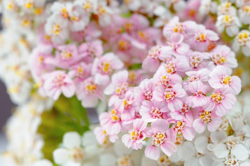 Weißes und rosa Yarrow Achillea Flowers Close-Up lizenzfreie stockfotografie