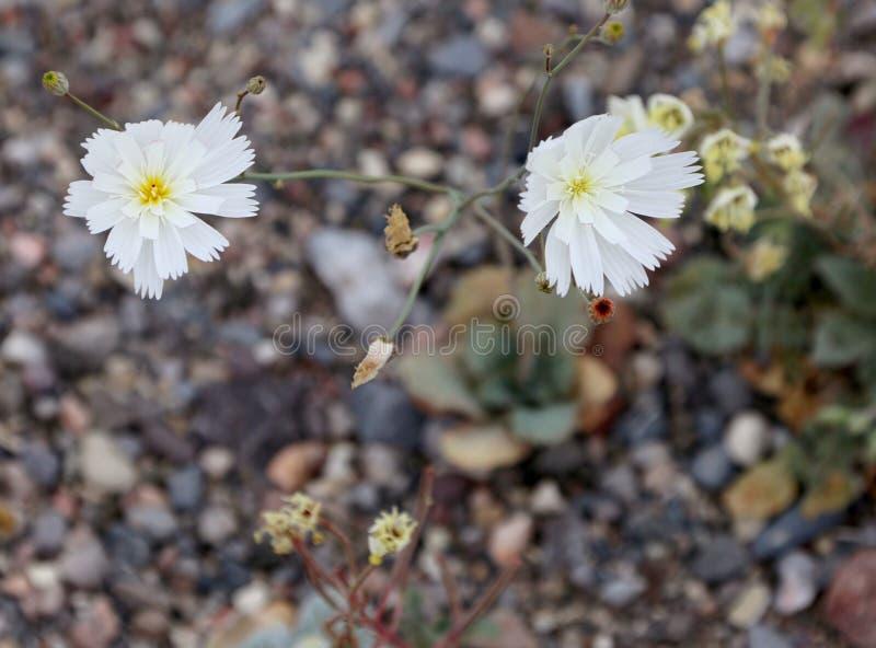 Weißes Wüste Wildflowers-Kies-Geist Atrichoseris-platyphlla lizenzfreies stockfoto