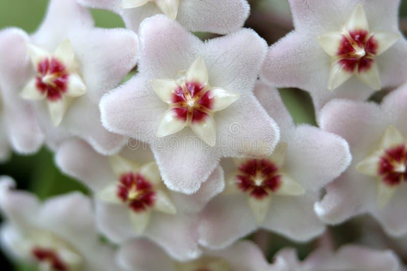 Weißes Wachs-Blumen-Detail stockfoto