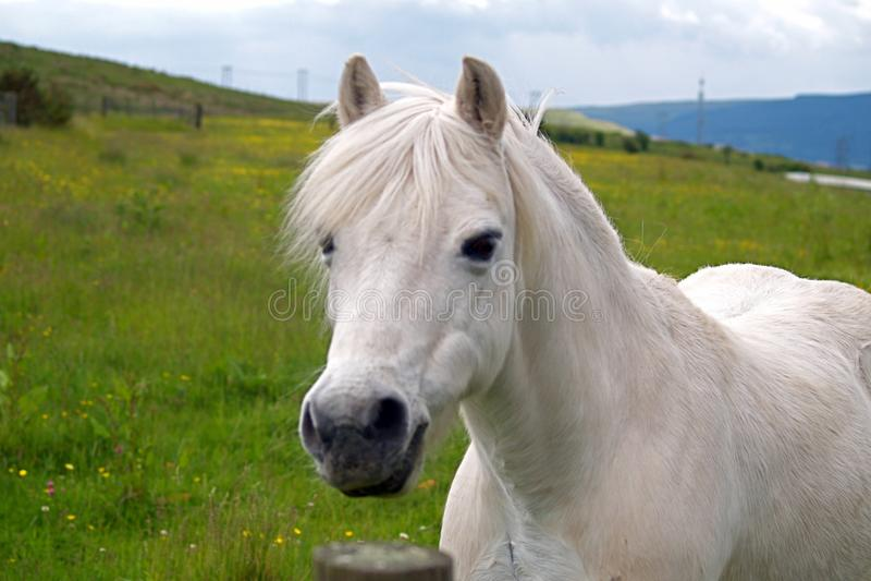 Weißes Waliser-Pony lizenzfreie stockfotos