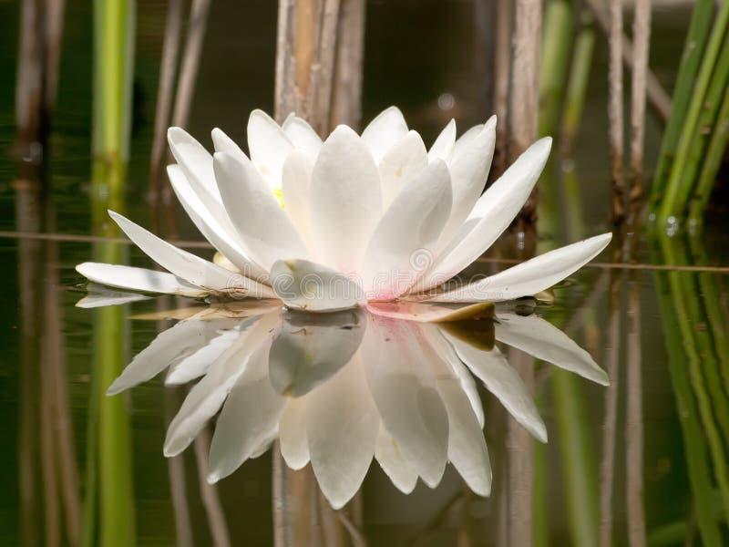 Weißes Wasser Lilly lizenzfreie stockbilder