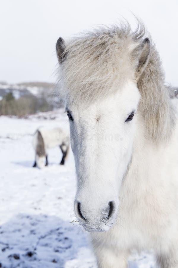Weißes wildes horte, das die Kamera in der Winterlandschaft untersucht stockfoto