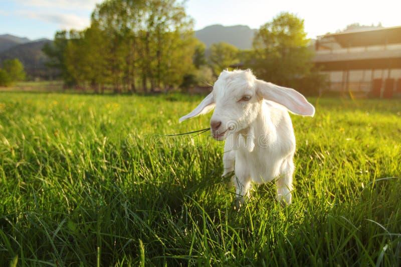 Weißes Ziegenkind, das auf grüner Frühlingswiese, Sonnenrücklichtbauernhof im Hintergrund, Weitwinkelfoto weiden lässt stockbild