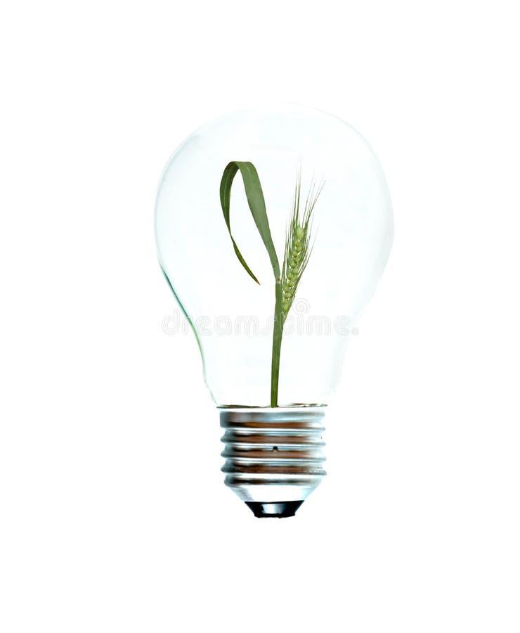 Weißglühende Glühlampe mit einer Weizenanlage lizenzfreies stockbild