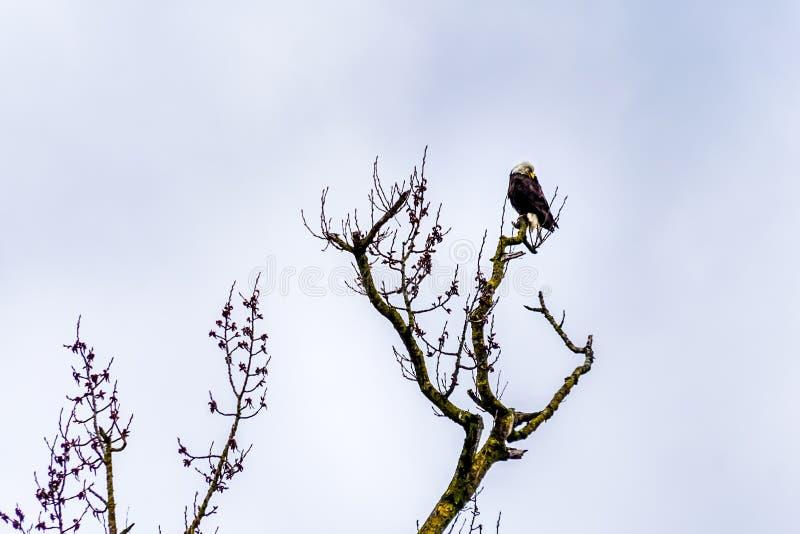 Weißkopfseeadler auf einem Baumast im schönen Britisch-Columbia, Canad lizenzfreie stockbilder