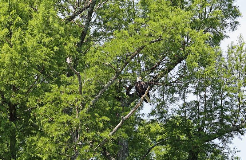 Weißkopfseeadler auf grünem Baum stockfoto