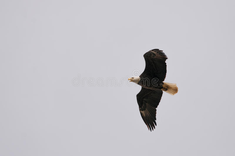 Weißkopfseeadler, fliegend stockbilder