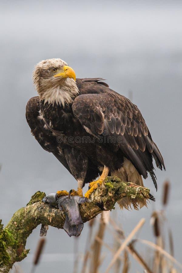 Weißkopfseeadler hochfliegend gegen klaren blauen alaskischen Himmel stockfotos