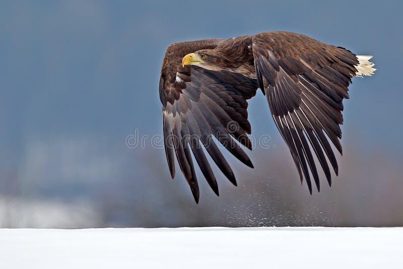Weißkopfseeadler hochfliegend gegen klaren blauen alaskischen Himmel lizenzfreies stockbild