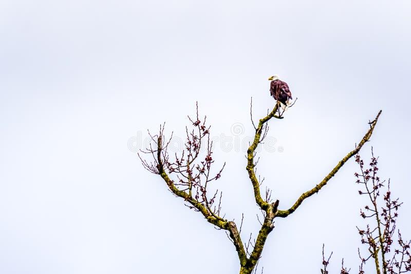 Weißkopfseeadler im Winter, der auf einem Baumast an der Graureiher-Reserve nahe Chilliwack im schönen Britisch-Columbia, Canad s lizenzfreie stockbilder