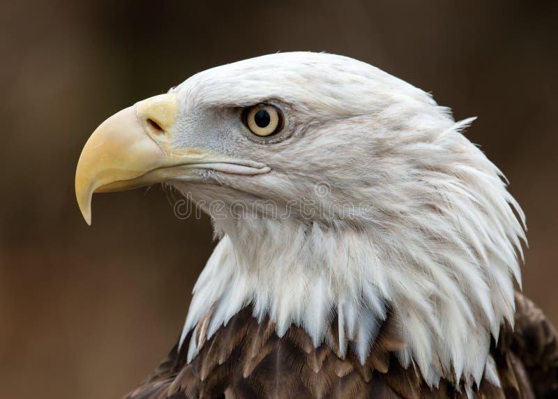 Weißkopfseeadlerprofilporträt stockbilder